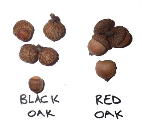 A guide to Black oak vs red oak