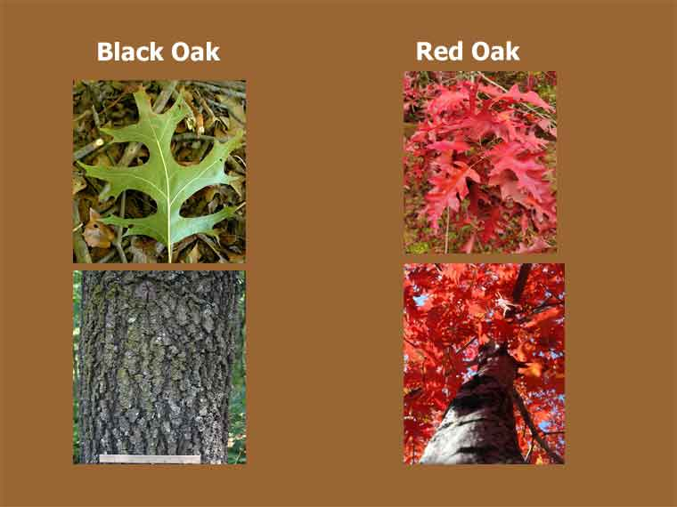 Black Oak vs Red Oak