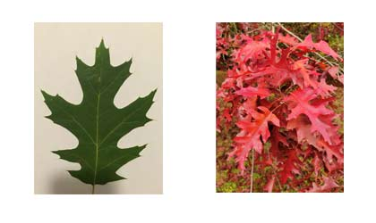 Frequently Asked Questions Black oak vs red oak